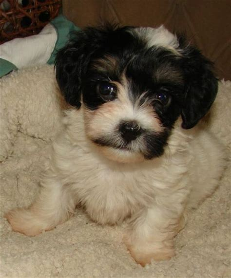 cuban havanese puppies 63 best images about havanese cuba on dogs rhode island and