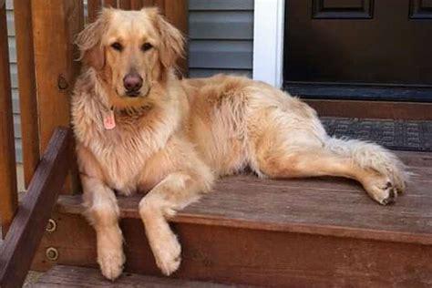 golden retriever petco petco golden retriever grooming photo