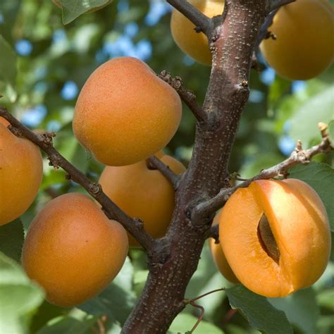 apricot fruit trees bare root tomcot apricot tree semi groworganic
