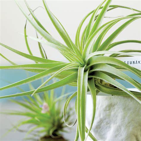 tillandsia air plants sunset