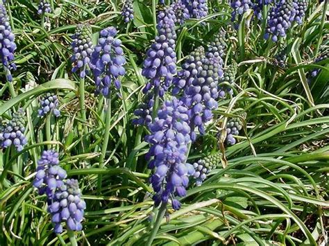 is grape hyacinth poisonous 28 images experiments
