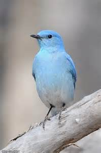 blue colored birds blue bird color blues