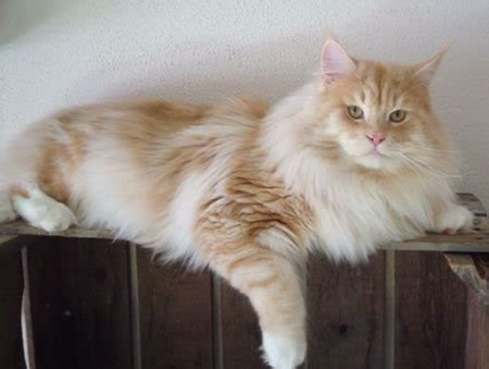 Maine Coon Cats: World's Largest Domestic Cat Breed   Pets