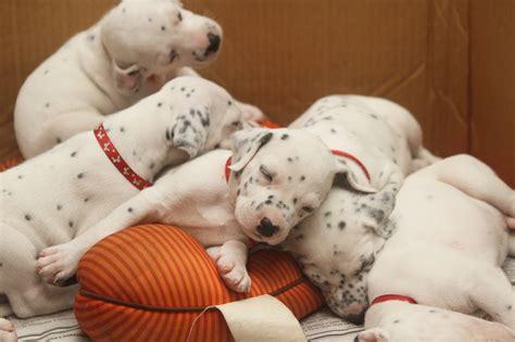 free dalmatian puppies file dalmatian puppy three weeks 3 jpg wikimedia commons