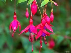 Fuchia by Fuchsia Magellanica Versicolor Name That Plant