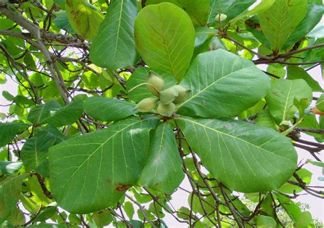 almond fruit tree herbal remedies 75 indian almond improves memory