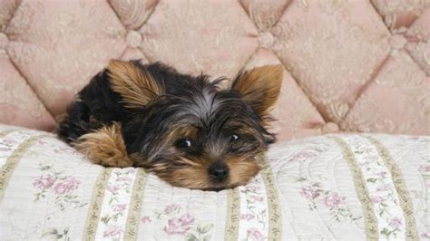 what is the average lifespan of a yorkie everything about your terrier my dogs
