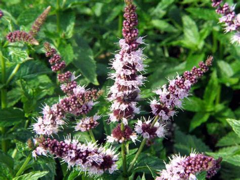 how to grow and care for mint plants world of flowering plants