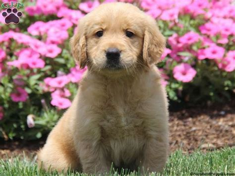 max golden retrievers 17 best images about golden retrievers on happy health and who dat