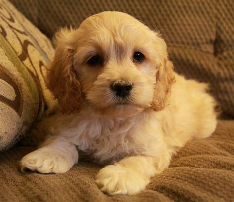 cockapoo puppies indiana so cockapoo puppy puppies for sale dogs for sale in ontario canada curious