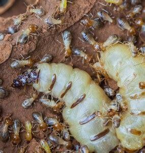 termite pest control termite prevention termite treatment