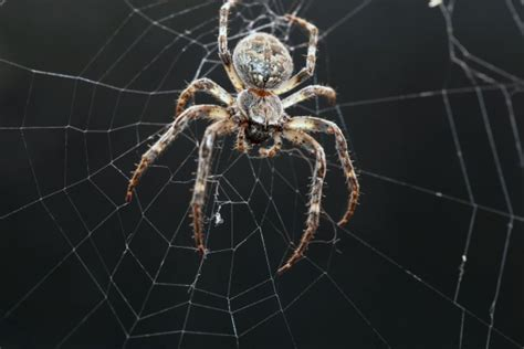Garden Spider Folklore 8 The Orb Web Is Typical 8 The Orb Web Is Typical