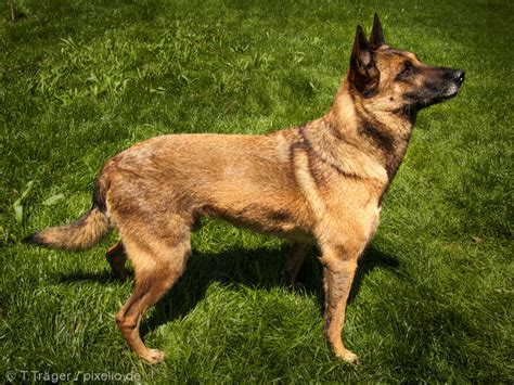 belgian malinois puppies belgian malinois pictures and informations breeds