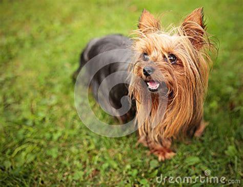 yorkie panting happy terrier puppy panting