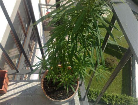 coltivare marijuana in casa senza lade pianta di marijuana sul balcone denunciata una donna di