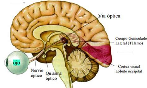 imagenes de las vias visuales subsistema visual apuntes de medicina