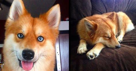 pomeranian en espanol esta mezcla de pomeranian y husky se convierte en el zorro que siempre quisiste tener