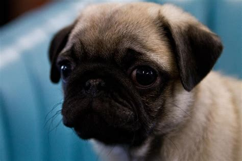 pug screen saver pug wallpaper screensaver background pug puppy pug wallpaper screensaver
