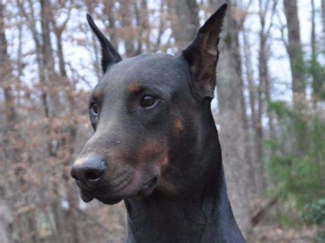 doberman puppies for sale in va doberman pinschers puppies