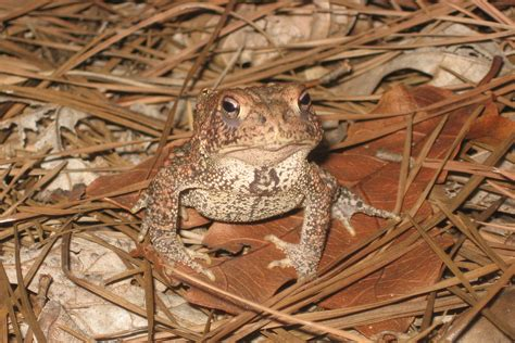 houston toad habitat map endangered species program what we do partnerships in