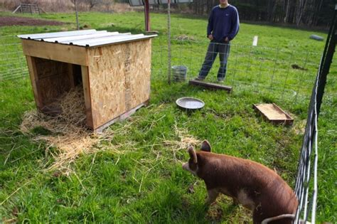 raising backyard pigs itty bitty impact part 2