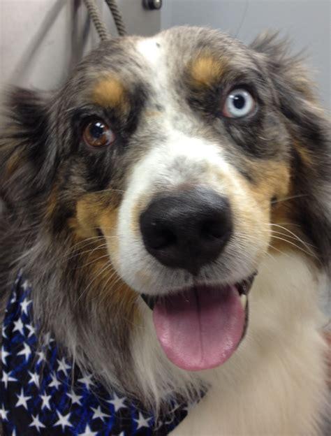australian shepherd house dog dr sandra truli springer vmd truli holistic veterinary house calls 877 dr truli
