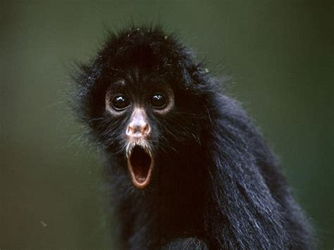 black monkey hd animals wallpapers pictures of monkeys spider monkey