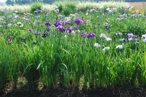 at a glance ensata gardens dirt simple