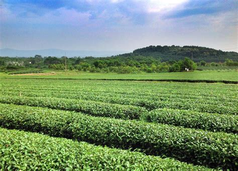 Tea Gardens In India Garden Ftempo Centurylink Walled Garden