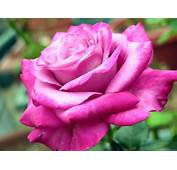 Rose Botswana National Flower