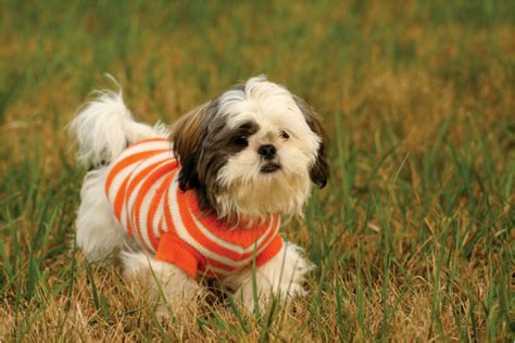 sad shih tzu puppy shih tzu facts pictures puppies temperament price care animals adda