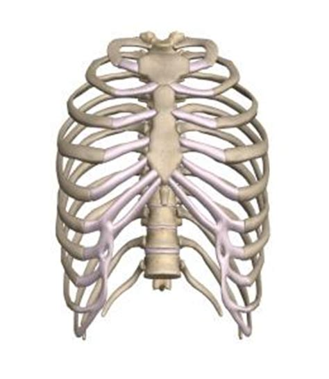 gabbia toracica scheletro assile superagatoide