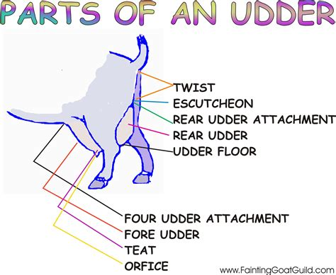udder diagram fainting goat guild fgg goat anatomy