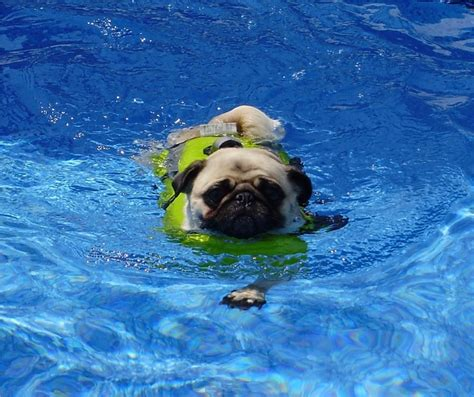 do pugs swim 82 best our pugs images on pug dogs doggies and pugs