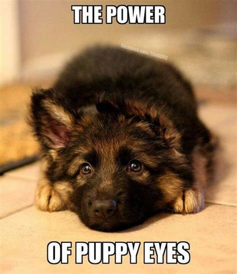 Puppy Eyes Meme - best 25 puppy pics ideas on pinterest cute pupies cute