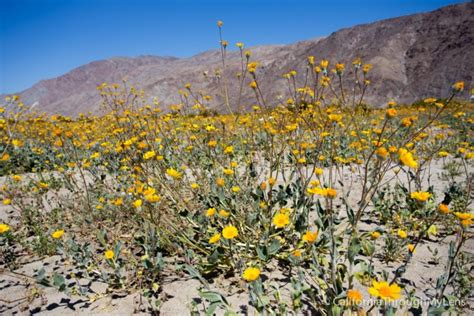 anza borrego spring flowers naturetime wildflowers in anza borrego where to find them