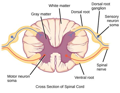describe the cross sectional anatomy of spinal cord the peripheral nervous system 183 biology