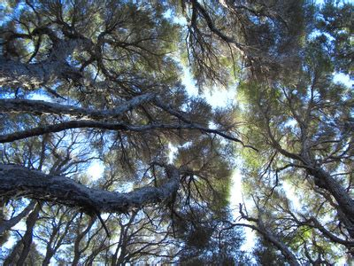 Tree Canopy Definition by Definition Of A Canopy Tree Garden Guides