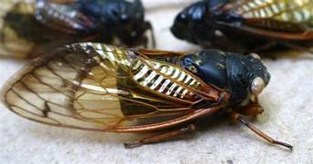 Indoor Garden Solutions - your chance to hear real cicadas insects in the city