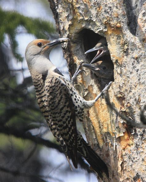 northern flicker birds calgary