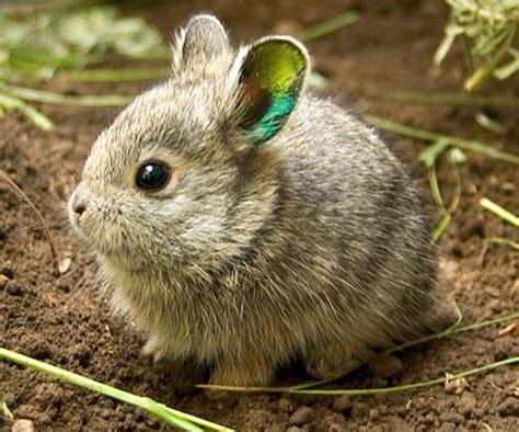 Pygmy Rabbits Face Extinction   POPSUGAR Pets