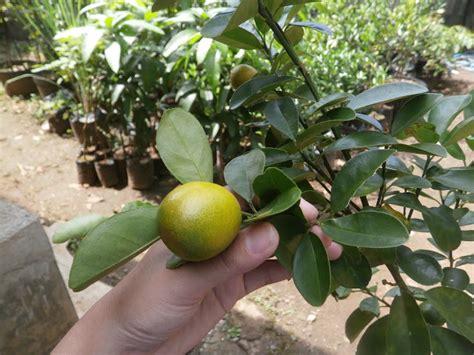 Bibit Jeruk Santang Berkualitas berbagai macam varian bibit jeruk unggul produk kami