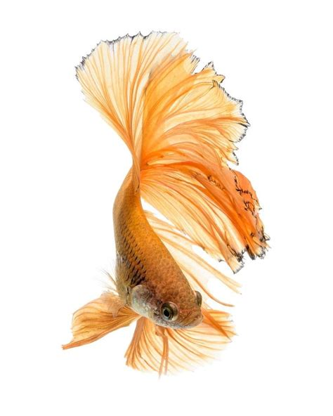 47 Best Images About Beta 47 best beta fish images on beta fish betta