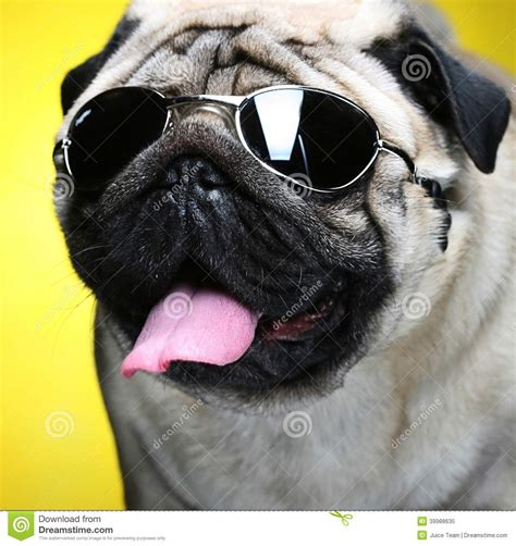 pug with sunglasses pug with sunglasses stock photo image 39988635