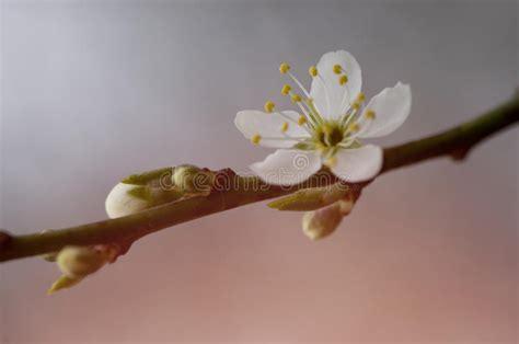 albero con fiori bianchi un ramo di un albero sbocciante con i fiori bianchi