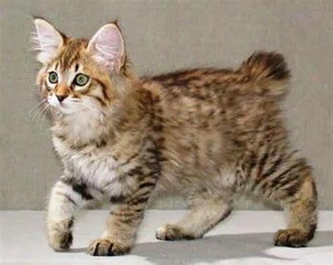 American Bobtail Cat   Cute Cats