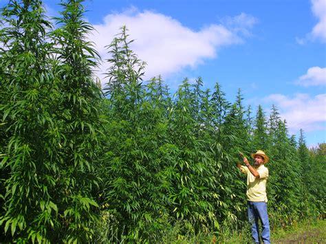 Canapé En by Cannabis Investigan Nuevos Usos
