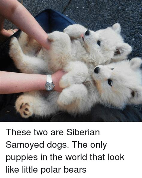 siberian samoyed puppies these two are siberian samoyed dogs the only puppies in the world that look like