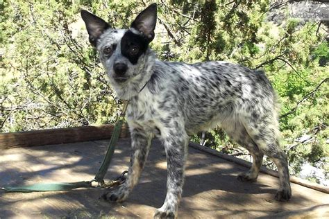miniature blue heeler puppies for sale near me s mini australian cattle blue heeler puppy for sale near bend