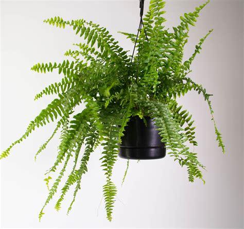 boston fern  white hanging planter plantandpotnz